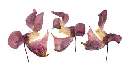 압착 및 말린 섬세 한 라일락 꽃 impatiens glandulifera (히말라야 발삼). 흰색 배경에 고립. scrapbooking, 프레스 플로리스트 (oshibana) 또는 식물 표본 상자에서 사용하십시오. 스톡 콘텐츠 - 72539957