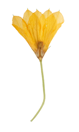 dried gourd: Pressed and dried orange flower  pumpkin (gourd, squash). Isolated on white background. For use in scrapbooking, floristry (oshibana) or herbarium. Stock Photo