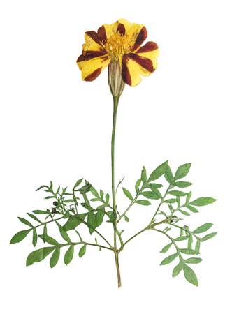Pressed and dried flower marigold on stem with green leaves.   Isolated on white background. For use in scrapbooking, floristry (oshibana) or herbarium.