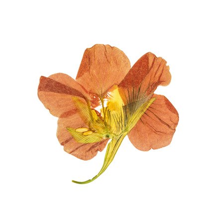 Pressed and dried delicate orange flowers nasturtium (tropaeolum). Isolated on white background. For use in scrapbooking, floristry (oshibana) or herbarium.