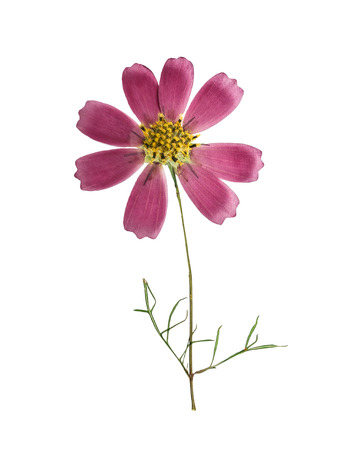 Pressed and dried flower cosmos with green leaves, isolated on white background. For use in scrapbooking, floristry (oshibana) or herbarium.