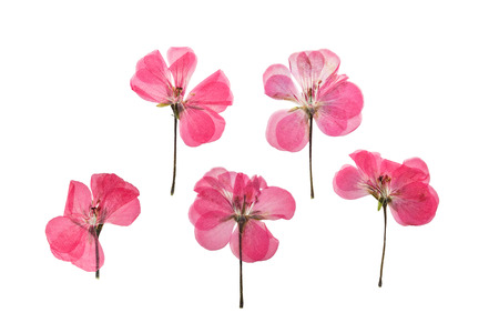Pressed and dried pink delicate transparent flowers geranium (pelargonium), isolated on white background. For use in scrapbooking, floristry (oshibana) or herbarium.