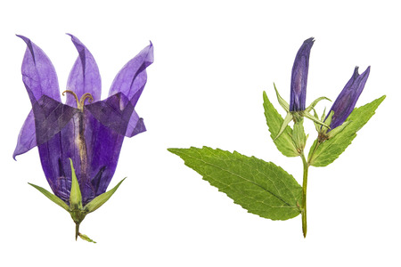 Pressed and dried flowers campanula. Isolated on white background. For use in scrapbooking, floristry (oshibana) or herbarium.