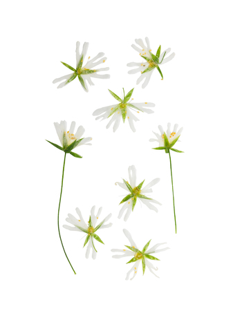 Pressed and dried Stellaria holostea flower. Isolated on white background. For use in scrapbooking, floristry (oshibana) or herbarium. Stock Photo