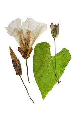 Pressed and dried flowers and leaves calystegia sepium. Isolated on white background. For use in scrapbooking, floristry (oshibana) or herbarium. Stock Photo