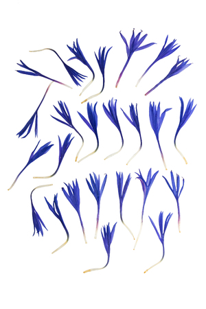 Pressed and dried flower petals cornflower, isolated on white background. For use in scrapbooking, floristry (oshibana) or herbarium.
