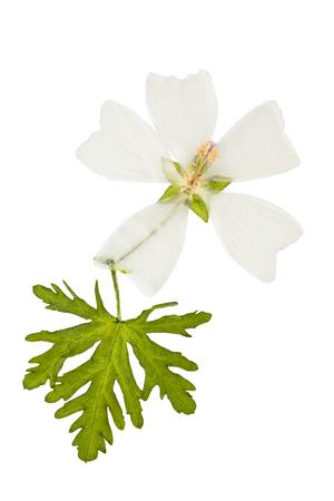 Ingedrukt en gedroogd bloem mallow musk (malva musk) met groene gesneden blad, geïsoleerd op een witte achtergrond. Voor gebruik bij scrapbooking, bloemisterij (oshibana) of herbarium.