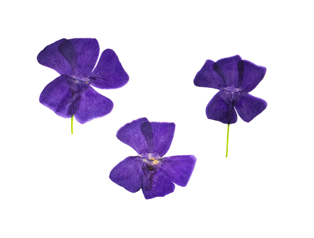 Pressed and dried flowers periwinkle (vinca minor), isolated on white background. For use in scrapbooking, floristry (oshibana) or herbarium.