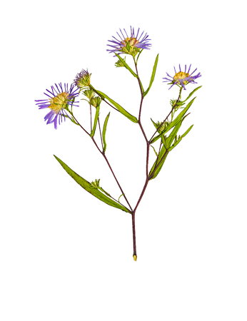 Pressed and dried flower Symphyotrichum novi-belgii (New York aster) on stem with green leaves. Isolated on white background. For use in scrapbooking, pressed floristry (oshibana) or herbarium. Stock Photo