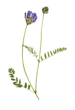 Astragalus presionado y secado de las flores (dasyanthus del astrágalo), aislado en el fondo blanco. Para usar en álbumes de recortes, floristería prensada (oshibana) o herbario. Foto de archivo - 77985357