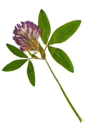 Ingedrukt en gedroogd gevoelig bloemalfalfa op stam met groene bladeren. Geïsoleerd op witte achtergrond Voor gebruik bij scrapbooking, bloemisterij (oshibana) of herbarium.