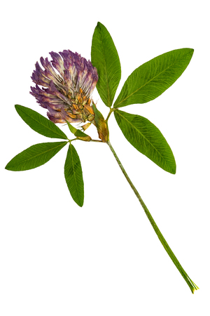 trifolium: Pressed and dried delicate flower alfalfa on stem with green leaves. Isolated on white background. For use in scrapbooking, floristry (oshibana) or herbarium.