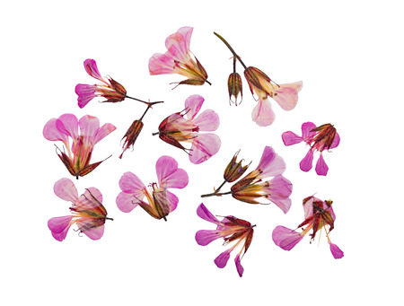 Pressed and dried flower geranium (geranium robertianum). Isolated on white background. For use in scrapbooking, floristry (oshibana) or herbarium. Reklamní fotografie