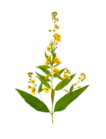 Pressed and dried flower loosestrife (lysimachia vulgaris) isolated on white background. For use in scrapbooking, floristry (oshibana) or herbarium.