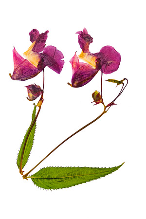 Pressed and dried delicate lilac flowers impatiens glandulifera (Himalayan Balsam). Isolated on white background. For use in scrapbooking, pressed floristry (oshibana) or herbarium.