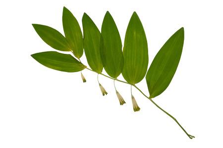 압착 및 말린 꽃 polygonatum odoratum 또는 솔로몬의 인감, 흰색 배경에 고립. scrapbooking, floristry (oshibana) 또는 식물 표본 상자에서 사용하십시오. 스톡 콘텐츠