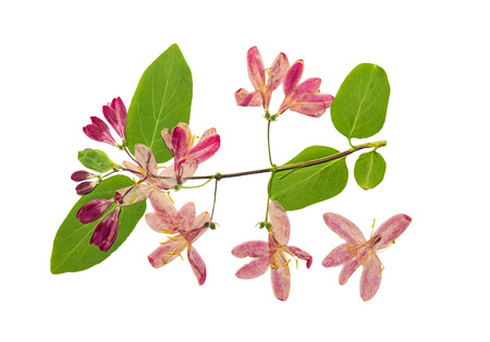 Pressed and dried flowers tataric honeysuckle (Lonicera tatarica), isolated on white background. For use in scrapbooking, floristry (oshibana) or herbarium.