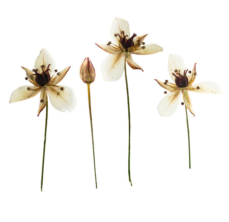 Pressed and dried Butomus umbellatus, isolated on white background. For use in scrapbooking, pressed floristry or herbarium.