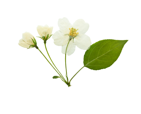 Pressed and dried flowers of apple tree, isolated on white background. For use in scrapbooking, pressed floristry or herbarium.