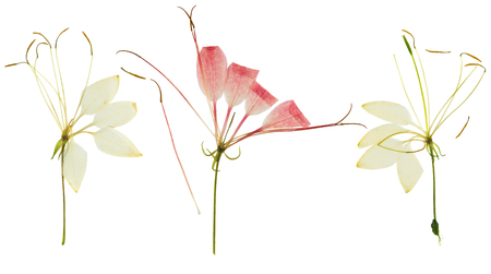 Pressed and dried flower cleome or spider flower, isolated on white background. For use in scrapbooking, floristry or herbarium.