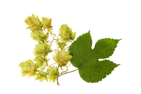 Pressed and dried hop (humulus lupulus) female flowers with green leaves. Isolated on white background. For use in scrapbooking, floristry or herbarium. Stock Photo