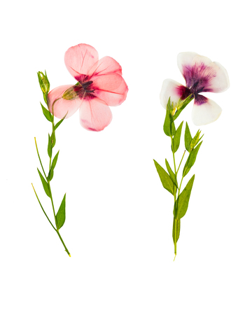 Pressed and dried delicate flower flax, isolated on white background. For use in scrapbooking, pressed floristry or herbarium. 스톡 콘텐츠