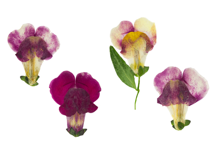 Pressed and dried flower snapdragons or antirrhinum, isolated on white background. For use in scrapbooking, floristry or herbarium. Stock Photo