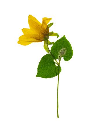 흰색 배경에 고립 된 노란색 꽃 thladiantha를 누르고 누르면. 스크랩북, 플로리스트 리 또는 식물 표본 상자에서 사용하십시오.