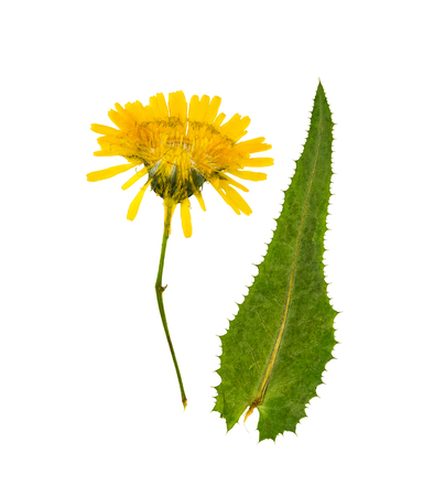 Pressed and dried flowers sow-thistle, isolated on white background. For use in scrapbooking, pressed floristry or herbarium. Stock Photo