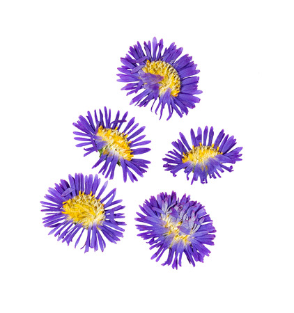 Pressed and dried flower symphyotrichum novi-belgii (New York aster), isolated on white background. For use in scrapbooking, pressed floristry or herbarium.