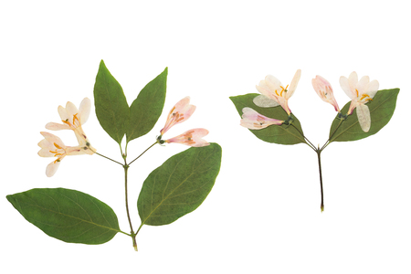 Pressed and dried flowers tataric honeysuckle (Lonicera tatarica), isolated on white background. For use in scrapbooking, floristry or herbarium. Stock Photo