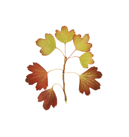 Pressed and dried leaf golden currant or ribes aureum isolated on white background. For use in scrapbooking, floristry or herbarium.