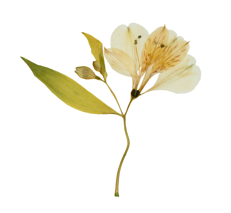 Pressed and dried flower alstroemeria, isolated on white background. For use in scrapbooking, floristry or herbarium. Imagens
