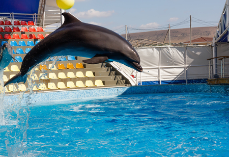 The dolphin, playing in the pool, jumps high out of the water.