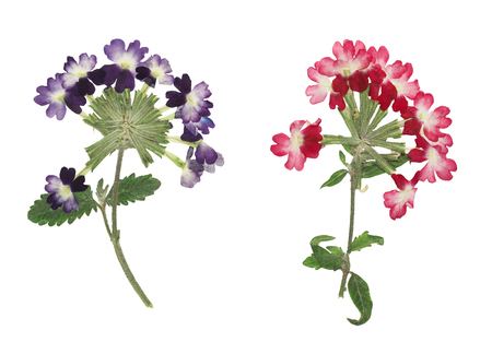 Pressed and dried flower verbena, isolated on white background. For use in scrapbooking, floristry or herbarium.