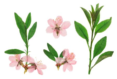 Pressed and dried twig almond with delicate pink flower. Isolated on white background. For use in scrapbooking, floristry or herbarium.