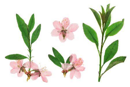 Ramita de almendra prensada y seca con delicada flor rosa. Aislado sobre fondo blanco. Para uso en álbumes de recortes, floristería o herbario.