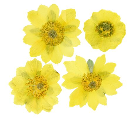 Pressed and dried flowers adonis, isolated on white background. For use in scrapbooking, pressed floristry or herbarium. Reklamní fotografie
