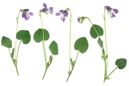 Pressed and dried flowers violets, isolated on white background. For use in scrapbooking, floristry or herbarium.