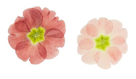 Pressed and dried maroon primrose flowers - primula polyanthus. Isolated on white background. For use in scrapbooking, floristry or herbarium.