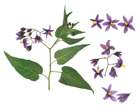 Pressed and dried delicate violet flower bittersweet nightshade (solanum dulcamara) on stem with green leaves. Isolated on white background. For use in scrapbooking, floristry or herbarium. Reklamní fotografie
