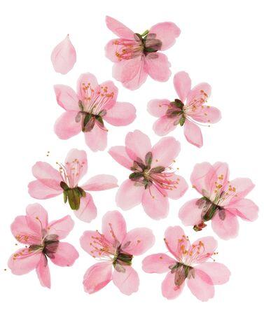 Gepresste und getrocknete Mandelsteppen- oder Prunus-Tenella-Blüten. Isoliert auf weißem Hintergrund. Für Scrapbooking, Floristik oder Herbarium.