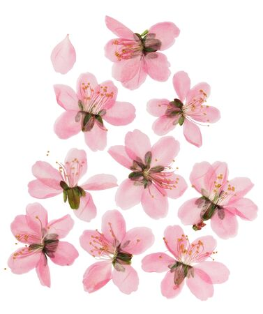 Pressed and dried almond steppe or prunus tenella flowers. Isolated on white background. For use in scrapbooking, floristry or herbarium.