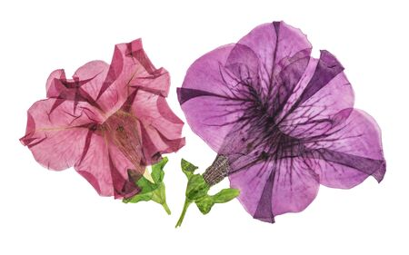 Pressed and dried flower petunia isolated on white background. For use in scrapbooking, floristry or herbarium.