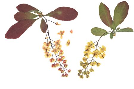 Pressed and dried flowers barberry, isolated on white background. For use in scrapbooking, floristry or herbarium. Zdjęcie Seryjne