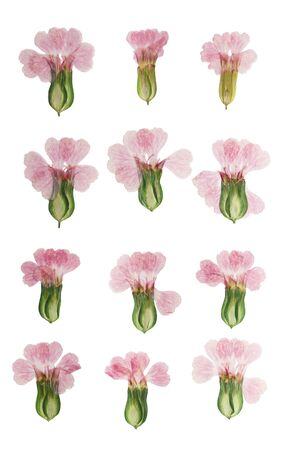 Pressed and dried flower gypsophila isolated on white background. For use in scrapbooking, floristry or herbarium.