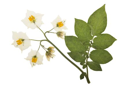 Pressed and dried sprig of potato with flower, isolated on white background. For use in scrapbooking, floristry or herbarium.