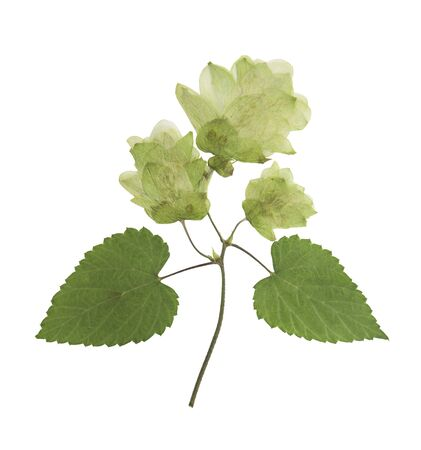 Pressed and dried hop (humulus lupulus) female flowers with green leaves. Isolated on white background. For use in scrapbooking, floristry or herbarium. Фото со стока