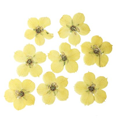 Pressed and dried flowers of meadow loosestrife. Isolated on white background. For use in scrapbooking, floristry or herbarium.