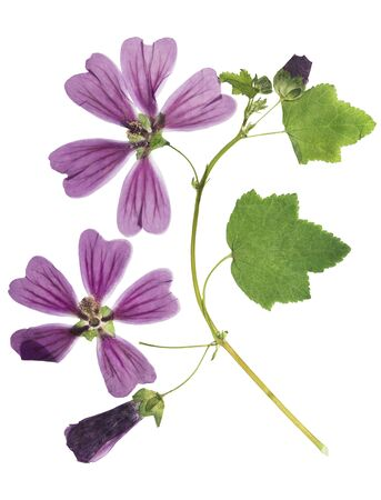 Pressed and dried flower lavatera, isolated on white background. For use in scrapbooking, floristry or herbarium.